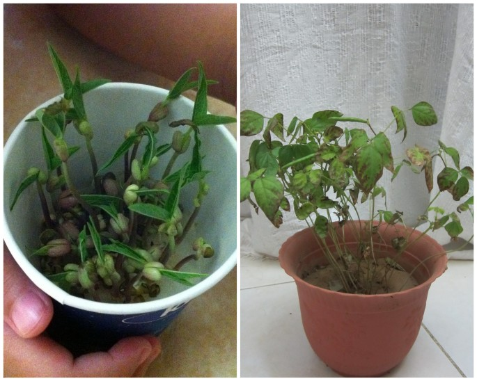 Munggo plants at 3 days old and at 2 months old.