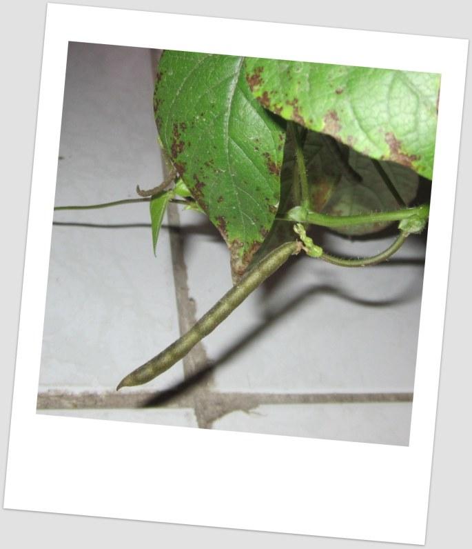 Munggo, ripe for harvesting